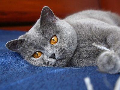 Выбрать имя для кота-британца