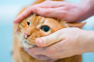 У абиссинского котенка слезится глаз thumbnail