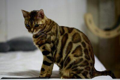 Тигровый кот: описание породы, характера, условий содержания