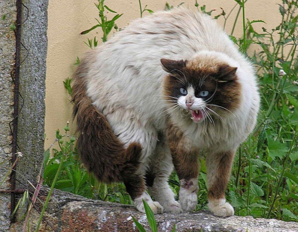 Самые опасные коты в мире