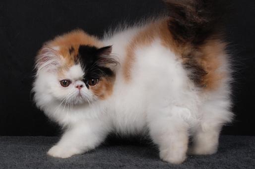 Бывают и трехцветные коты