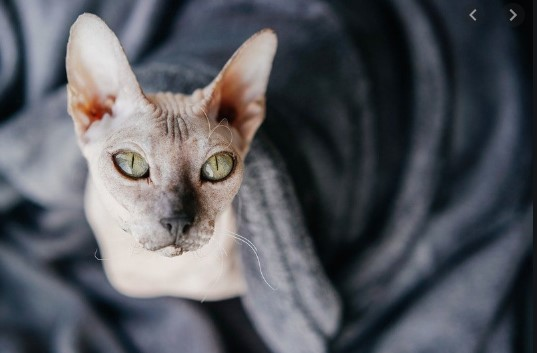 Особенности содержания лысых кошек