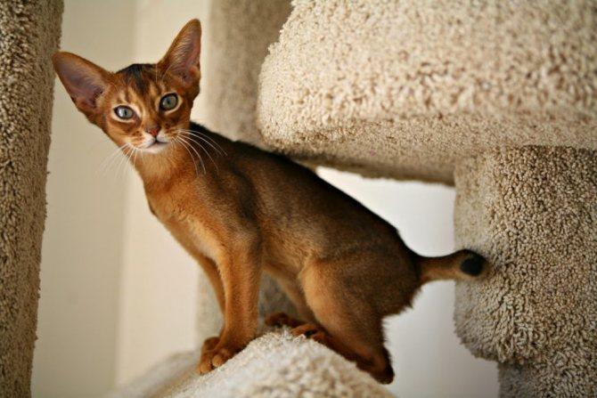 Поведение абиссинской кошки с другими животными