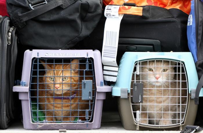 коты в перевозках с багажом