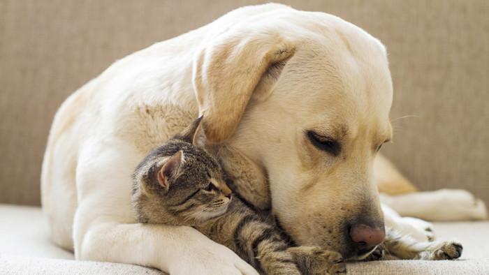 спаниэль и кот