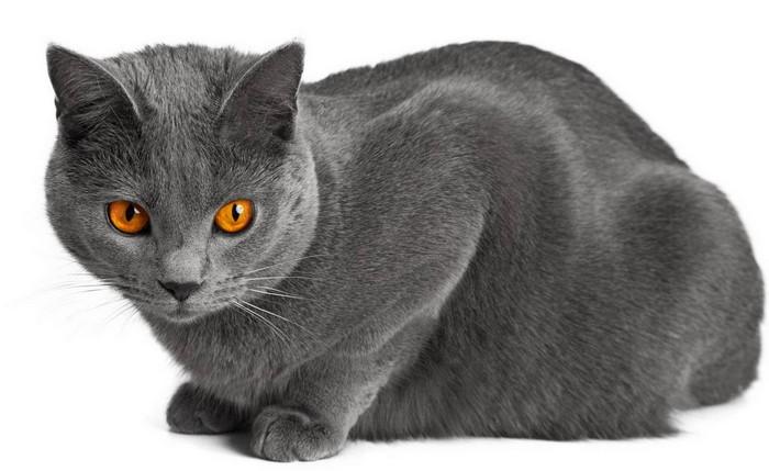 Картезианская кошка как выглядит