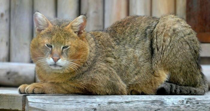 порода камышовый кот