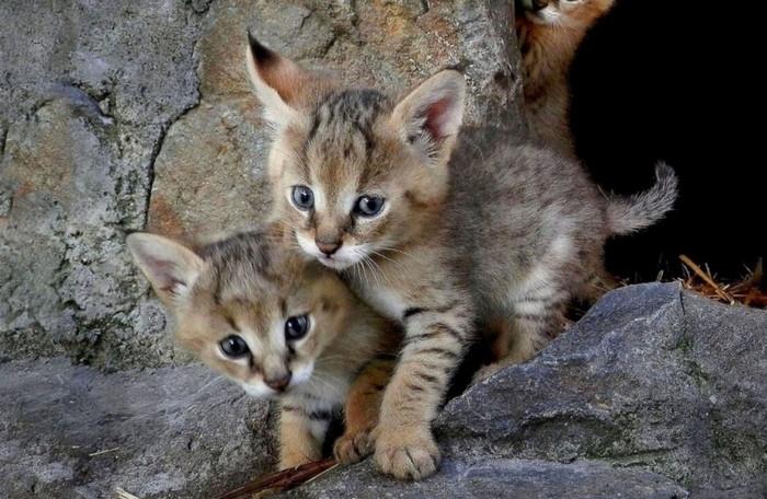 камышовый кот котята