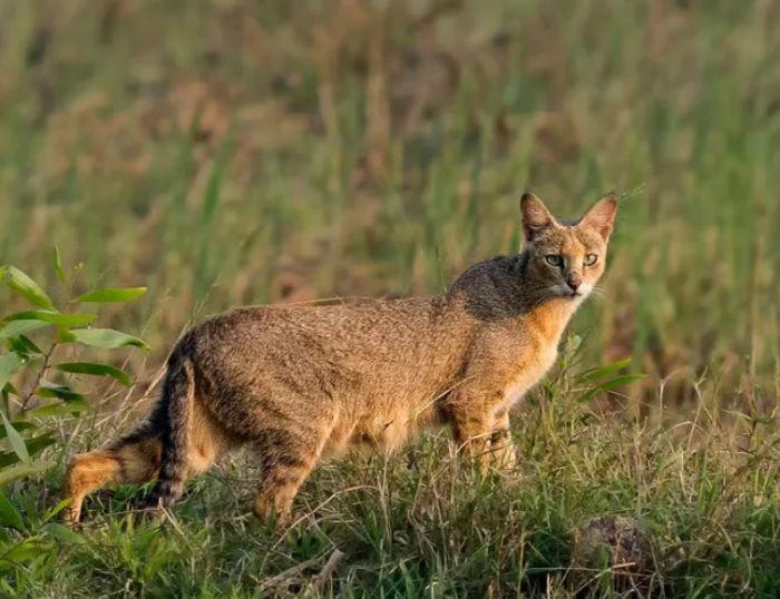 порода камышовый кот в природе