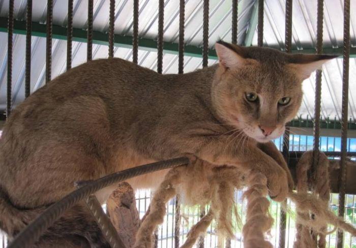 порода кошек камышовый кот домашний