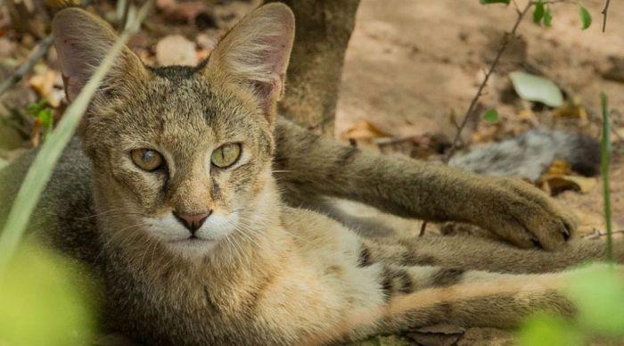 порода камышовый кот фото