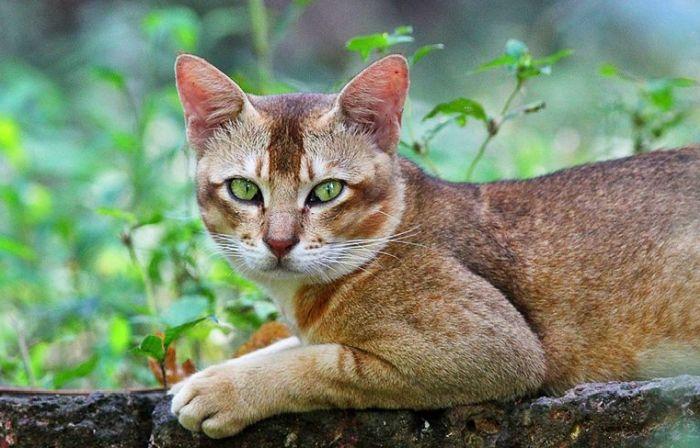 кот хауси камышевый