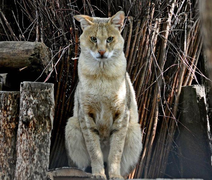 кот камышовый крупный фото