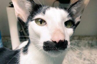 коты похожие на грузинов фото