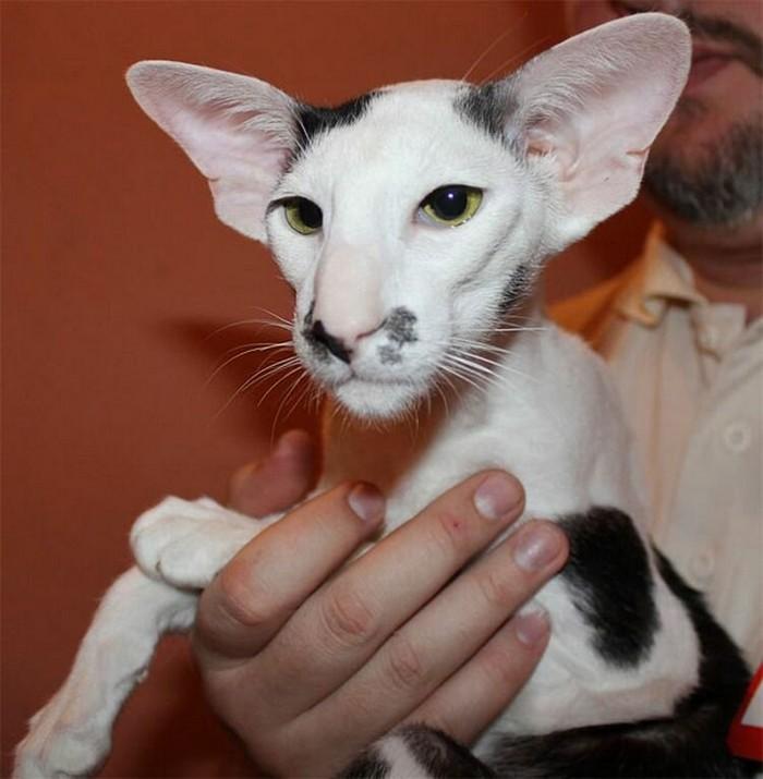 порода кошек похожая на грузина название фото