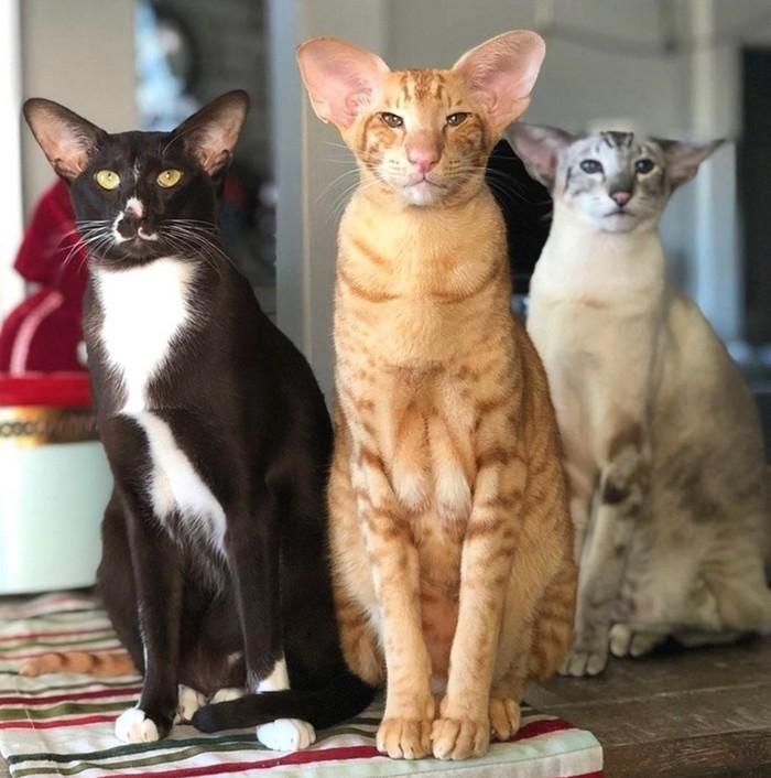 коты породы ориентал цвета