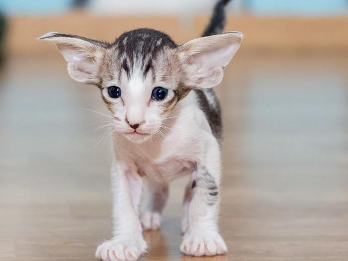 котенок породы ориента