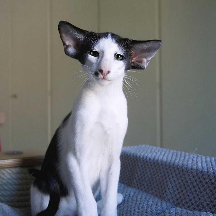 коты грузины описание породы