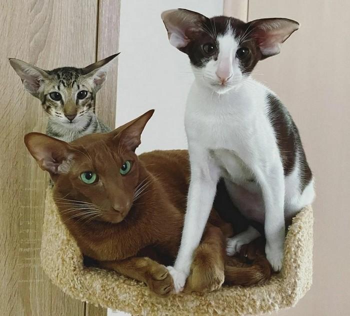 коты ориенталы окрасы