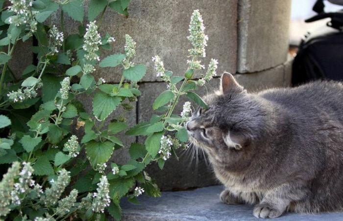 кошачья мята при стрессе