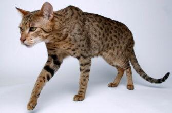 самые дорогие породы кошек в мире фото