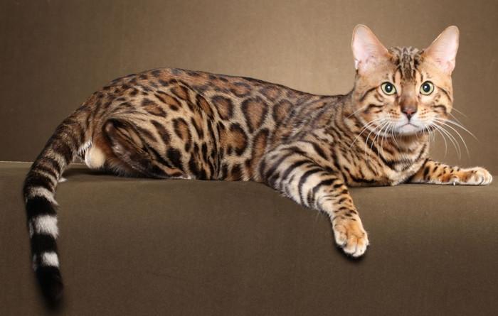 взрослая бенгальская кошка