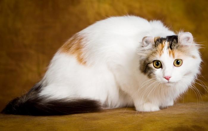 Американский кёрл кошка