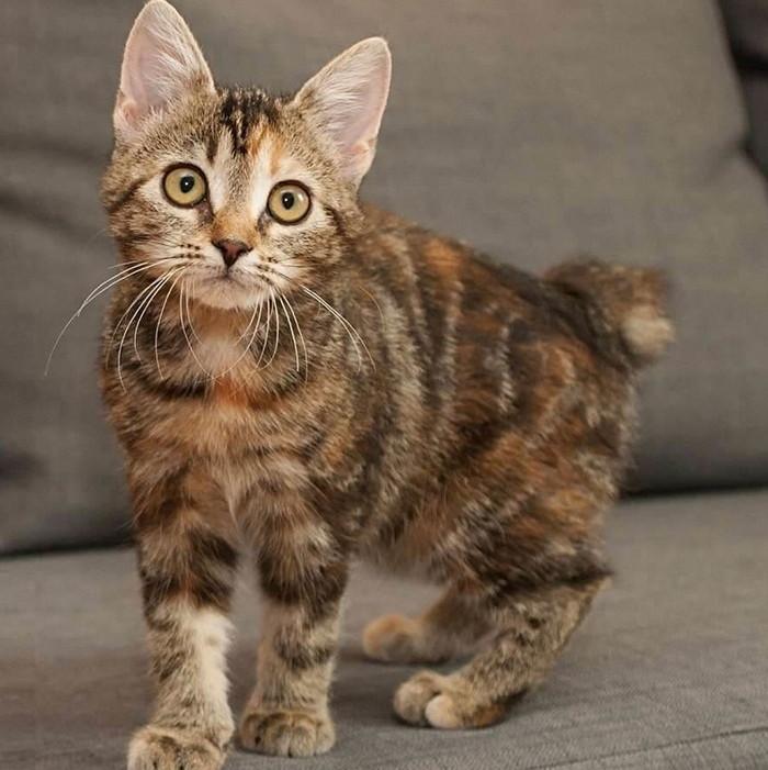 котенок мэнкса