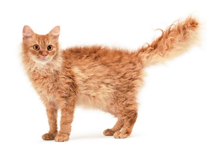 Лаперм кудрявая кошка