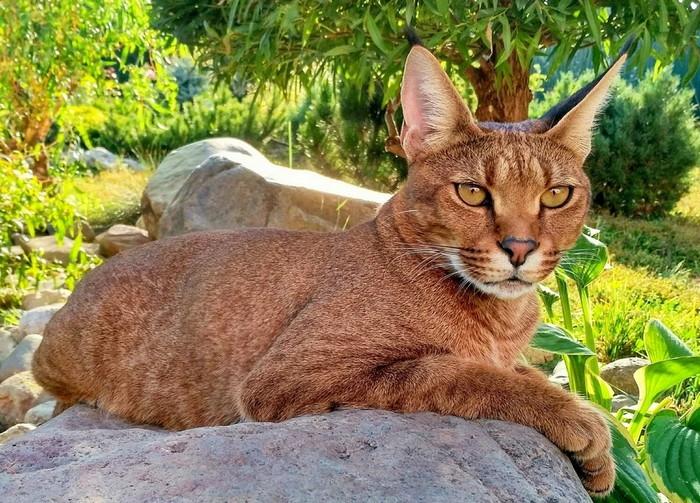 дорогая редкая кошка фото