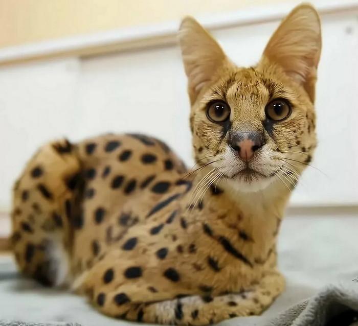 Ашера порода кошек