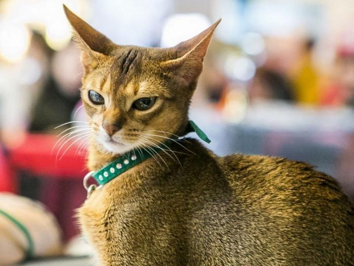 обзор самых дорогих кошек в мире