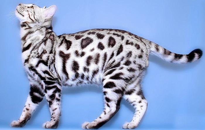 серебристая бенгальская кошка