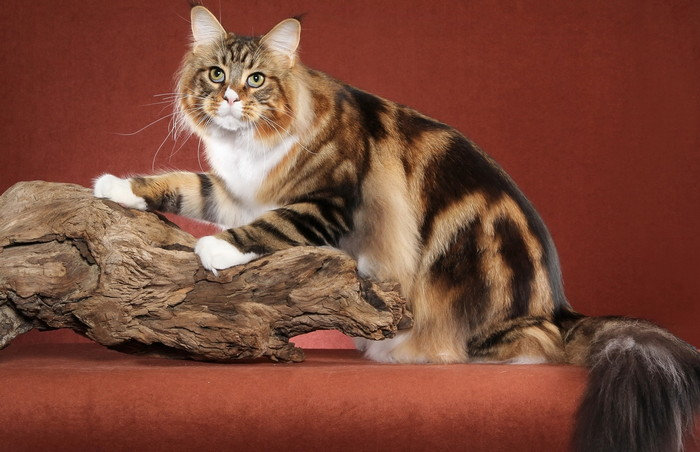 кошки редких пород обзор