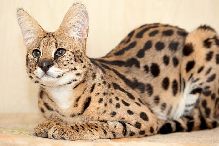 самая дорогая кошка в мире саванна