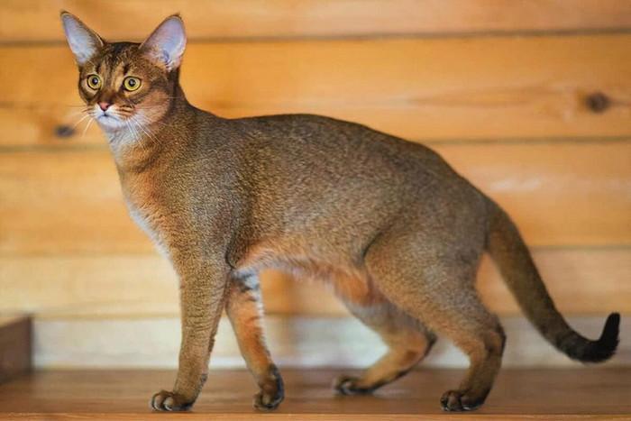 Чаузи порода кошек