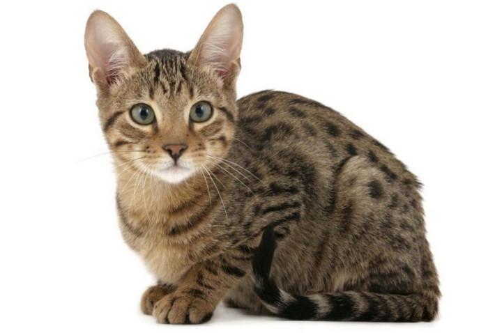 Серенгети фото кота