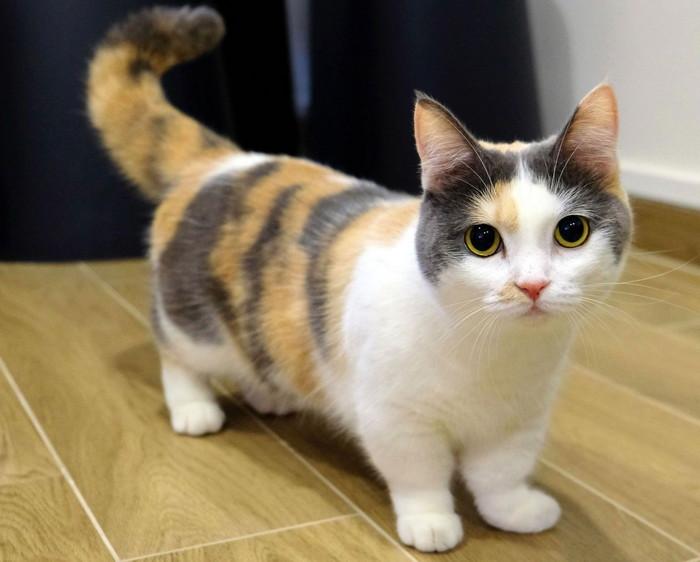 Манчкин коротколапые кошки