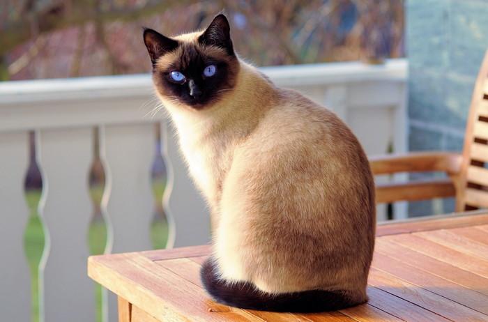 Сиамская кошка плюсы