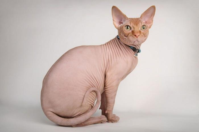 самые умные породы кошек рейтинг