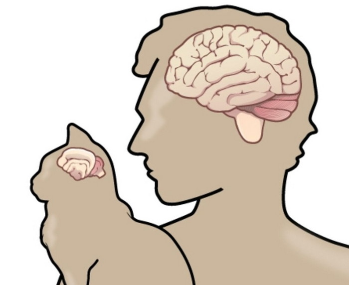 мозг кота и человека