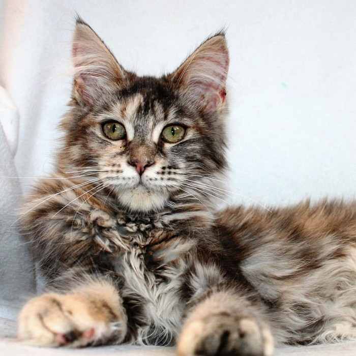 породы самых умных кошек